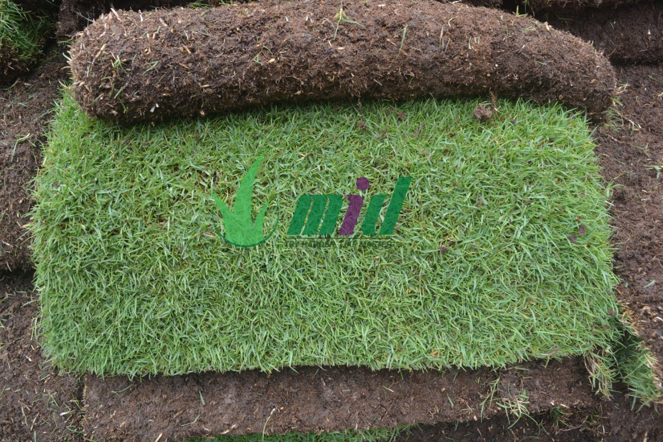 Dòng cỏ Paspalum trồng cho biệt thự cao cấp