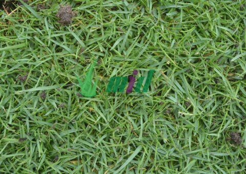 cỏ paspalum cho resort tại Mũi Né